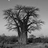 Baobab Moonrise