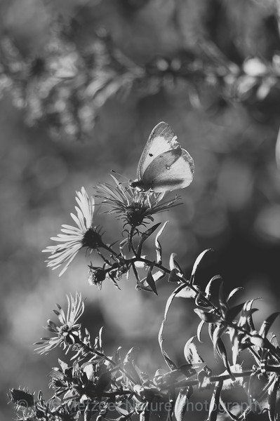 """Veiled Butterfly B&W"""