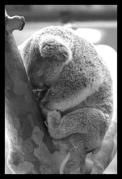 OKC koala visitor