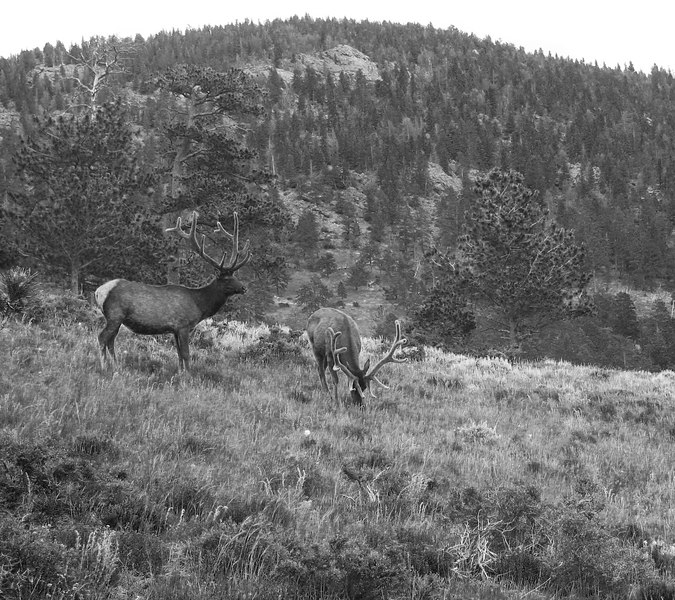elk at Rocky Mountain NP