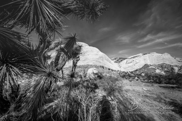 Mormon Rocks Trail - Yucca Trees