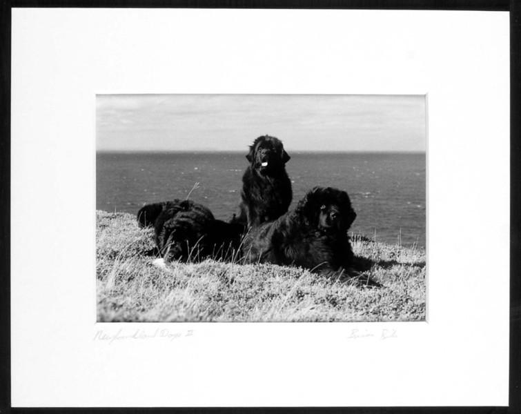 Newfoundland Dogs 2