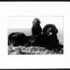 Newfoundland Dogs 3