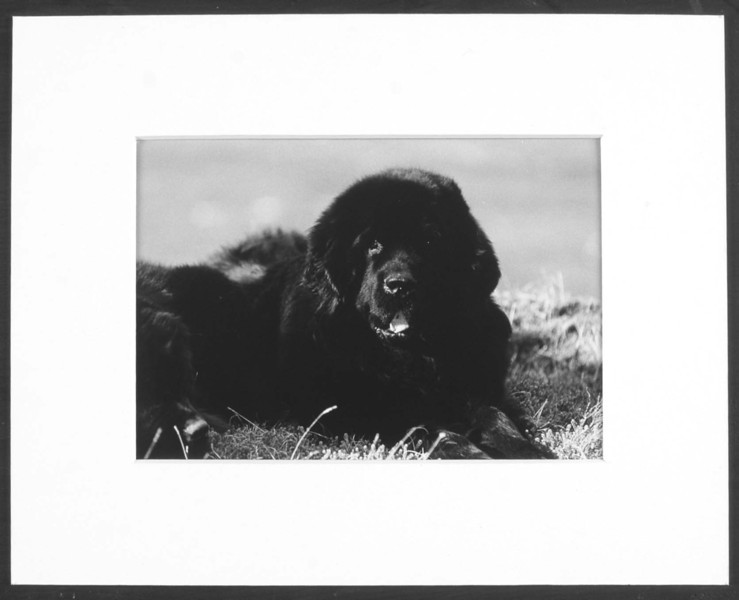 Newfoundland Dog 3