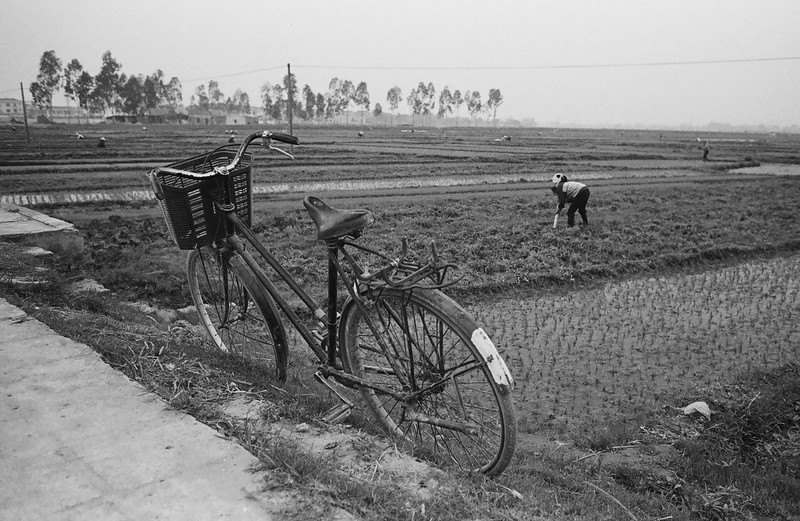 Rice Fields, Vietnam 2005