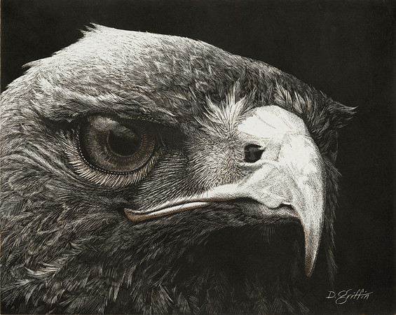"""Predator"" (scratchboard) by David Griffin"