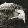 """Predator"" (scratchboard) by David Griffin"