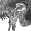 """Ostrich on the Down Low"" (graphite on cradled board) by Patsy Lindamood"