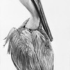 """Pelican Profile"" (graphite on cradled board) by Patsy Lindamood"