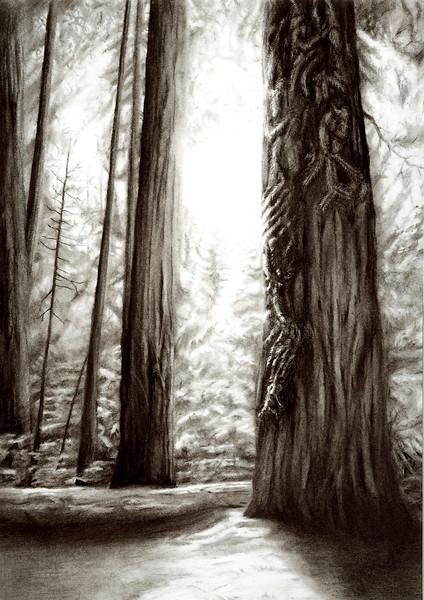 """""""Sacred Sequioa"""" (charcoal) by Luke Engle"""
