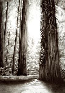 """Sacred Sequioa"" (charcoal) by Luke Engle"