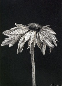 """Solitary"" (scratchboard) by Louise Collier"