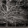Majestic Sycamore/ Morton Arboretum, Lisle, IL