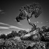 Twisted Juniper/ Black Hills of the Gunnison, Colorado