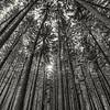 Spruce Plot/ Morton Arboretum, Lisle, Illinois
