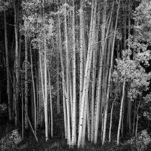 Aspens in Mono/ Colorado