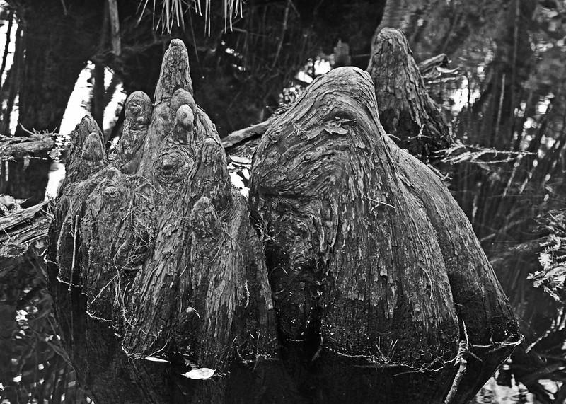 Cypress Knees.