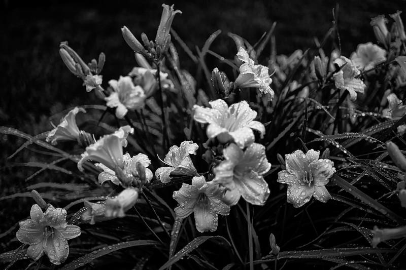 Lilies in the Rain