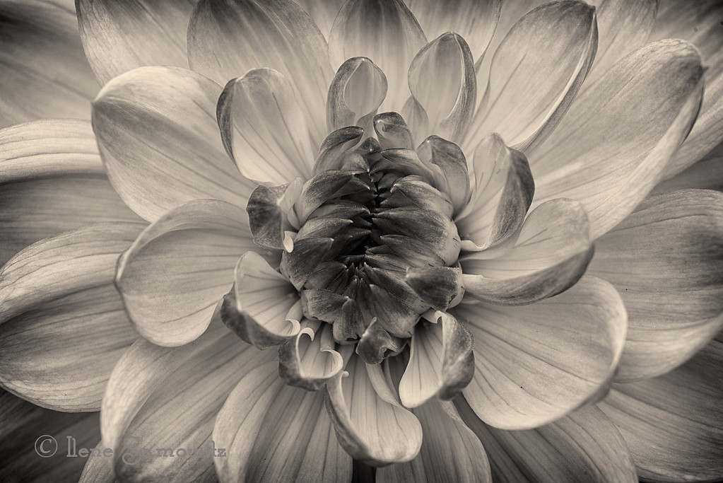 10-14-12 Dahlia in Black and White - This was taken at Shore Acres State Park, Charleston, Oregon.  They have incredible gardens including several beds of dahlias.  I converted this using Silver Effex Pro 2.  <br /> <br /> Constructive Feedback welcome.
