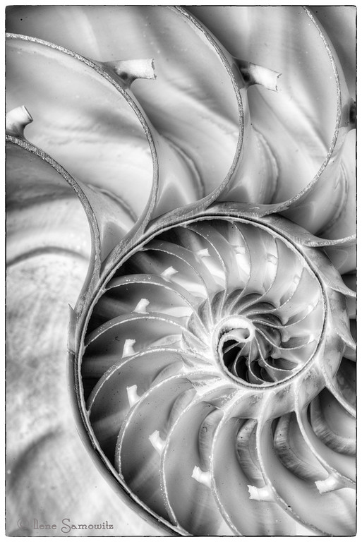 10-17-12 Nautilus This was a three stop HDR where the nautilus was lit with two fluorescent continuous lights.  I used my Nikon 105/2.8 VR macro.  The photo was processed in Photomatix Pro and SIlver Effex Pro 2.  <br /> <br /> Constructive Feedback Welcome.