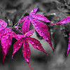 Japanese Maple Leaves; colorized