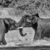 "Young Elephants spend a lot of time ""Trunk Tussling"".  I'm sure there is some evolutionary benefit."