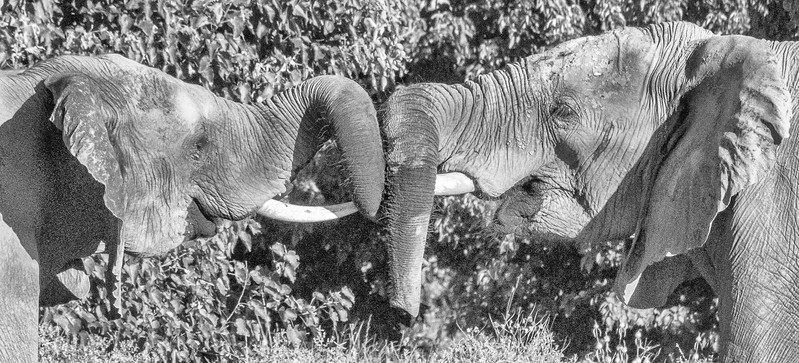 More Trunk Tussling