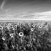 Grain Fields 3