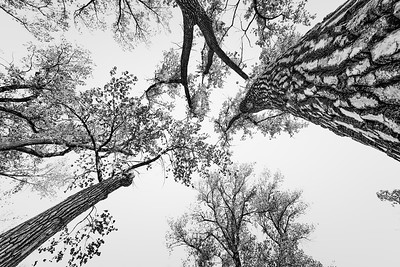 Cottonwood Trees 1