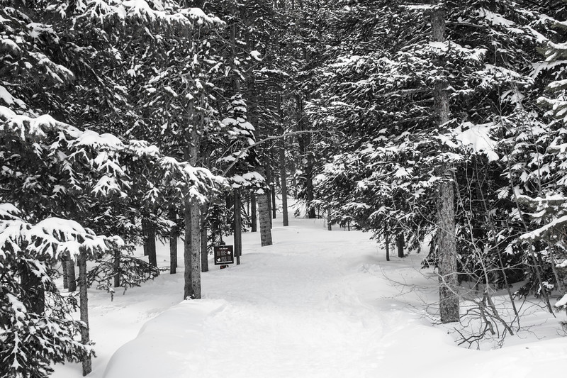 Black & white view of a snowy path thru Evergreen trees