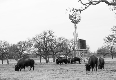 Buffalo feeding by the windmill in black and white
