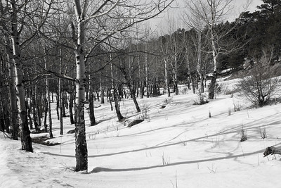 Shadows on snow of bare Aspen trees in Black & White