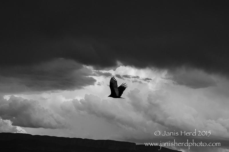 Vulture, Big Bend National Park, Texas