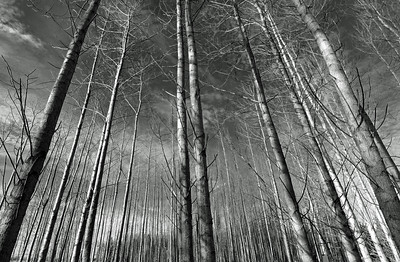 Linear Forest
