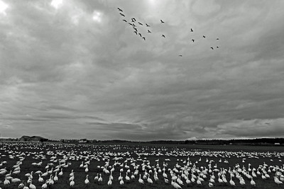 A Field of Trumpeter Swans