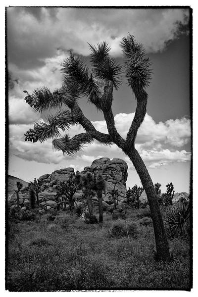 Joshua Tree leaning