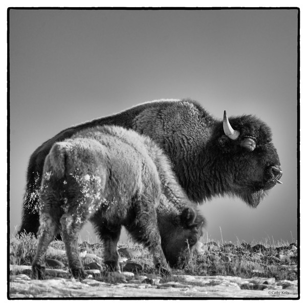 Bison, mother and calf in black and white