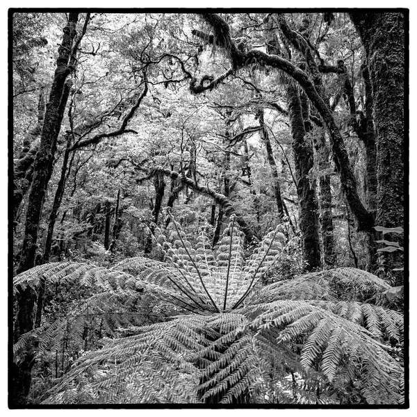 Tree fern in NZ rainforest