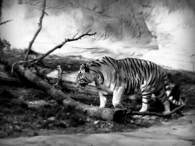 Black and White Revise Project Image #6 Detroit Zoo Tiger