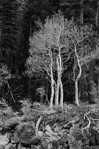 Aspens ~ Black and White #2