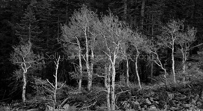 Aspens ~ Black and White