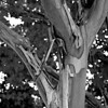 Crepe Myrtle in Monochrome