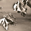 Leaves in Sepia