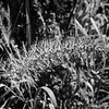 Summer Foxtail