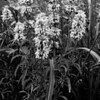 Beebalm in Monochrome