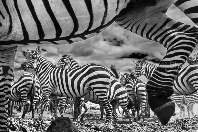 A spy camera capturing Zebra herd at Mara River Bank was placed between the small stones making it unnoticeable. In this way the behaviour of zebras would be undisturbed and a view of what a small insect would see when in middle of the zebra herd at a crossing point of Mara River in Masai Mara National Reserve.