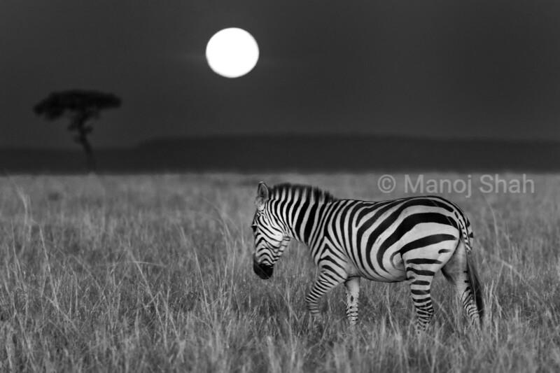 Zebra in moonlight in Masai Mara