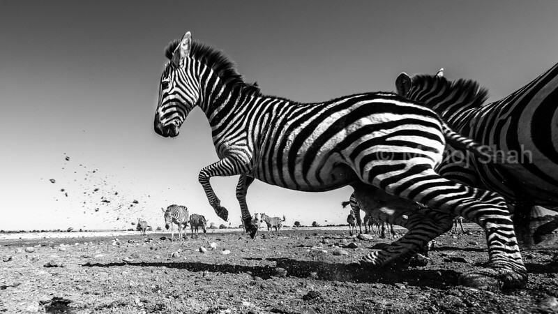 An alarm call makes the zebras bolt to safety in Laikipia savanna.