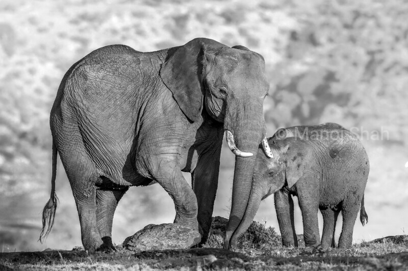 African elephant mother and baby grazing at sunrise in Masai Mara.