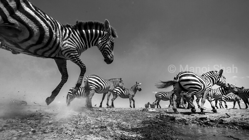 Lack of rains in Laikipia made the zebra herd visit the waterhole to quench their thirst. The peaceful herd drinking water suddenly panicked. A loud snort by a warthog with little ones started the commotion. Such is the behavior of drinking Zebras.